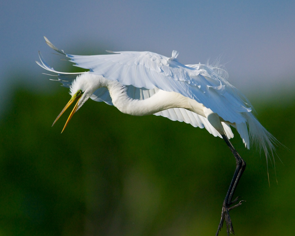 Great Egret Landing Bob Rehak Photography