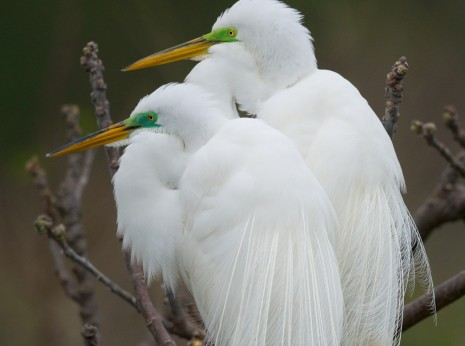 Nesting Pair of Great Egrets