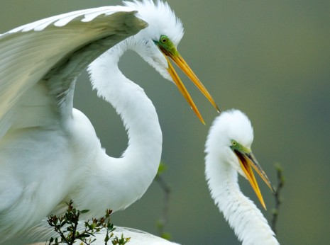 Happy Egrets