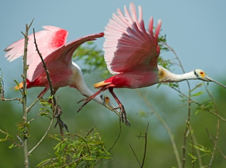 Roseate Spoonbill Walking on Air