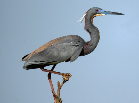 Tricolored Heron Surveying the Rookery