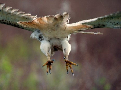 Red-Tailed Hawk Legs and Talons