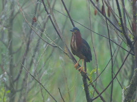 Green Heron in Dense Fog