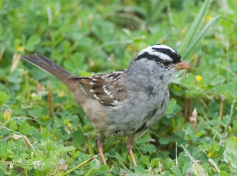 White Crested Sparrow