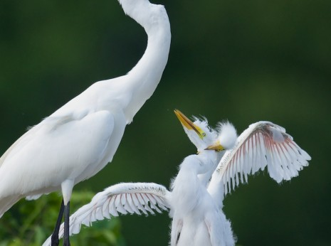 Egret Feeding Chicks II