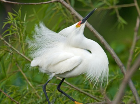 Snowy Egret Mating Display