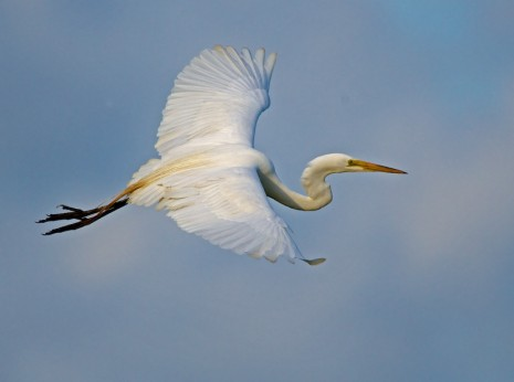 Great Egret Banking in Sunset
