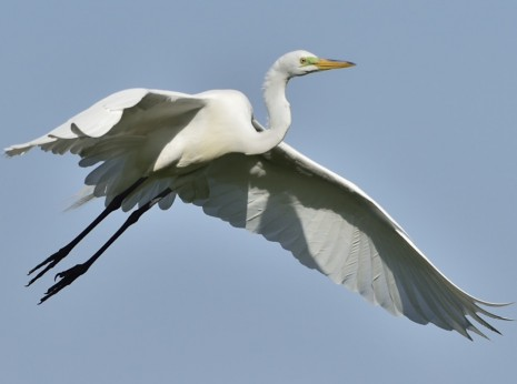 Great Egret Returning to Nest